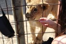 Tamed cub